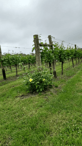 Roses at the end of each vine row