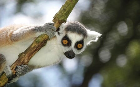 Ring tailed lemur_2