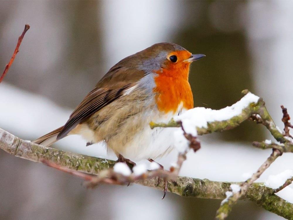 Robin-WEB