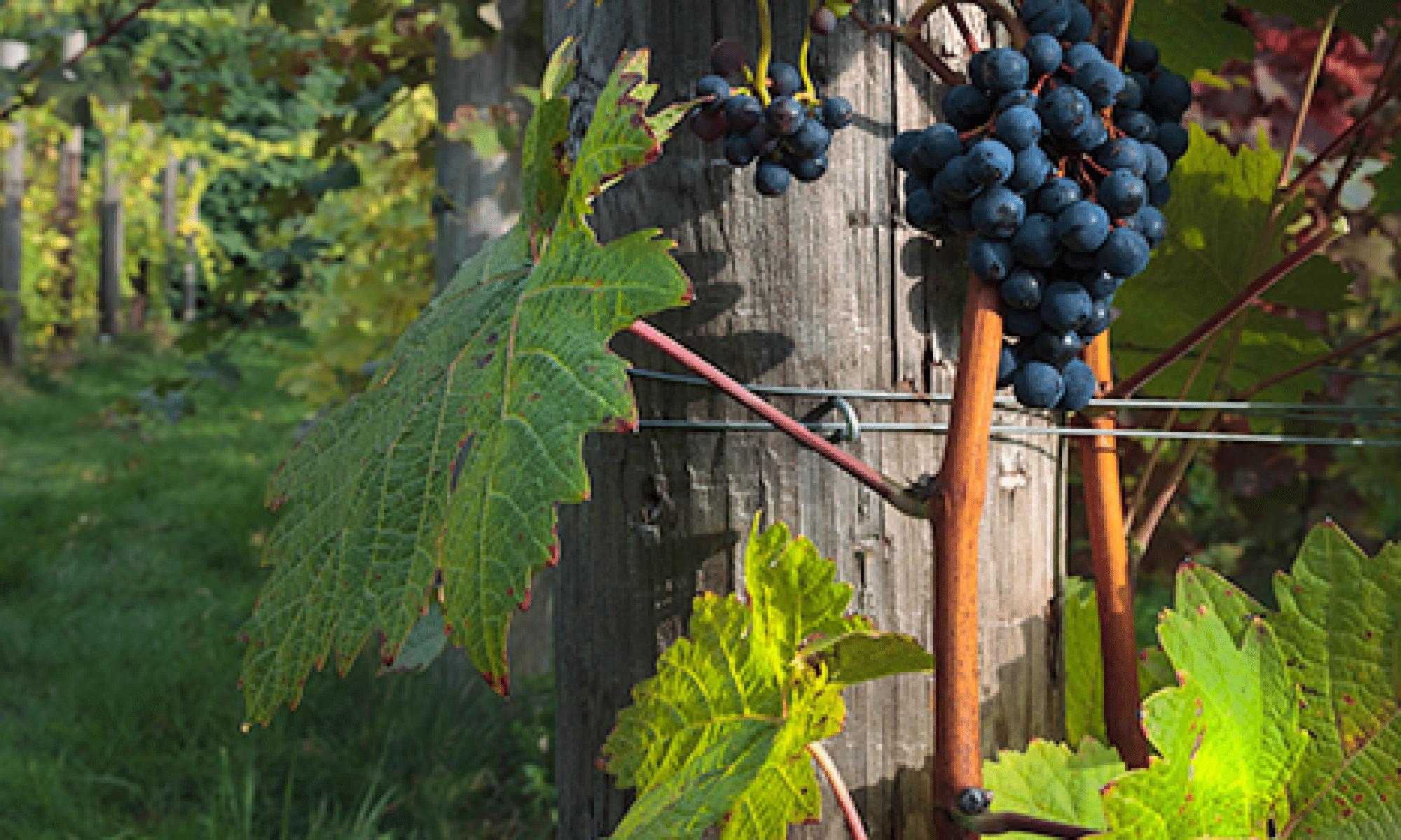 Wine Fruits