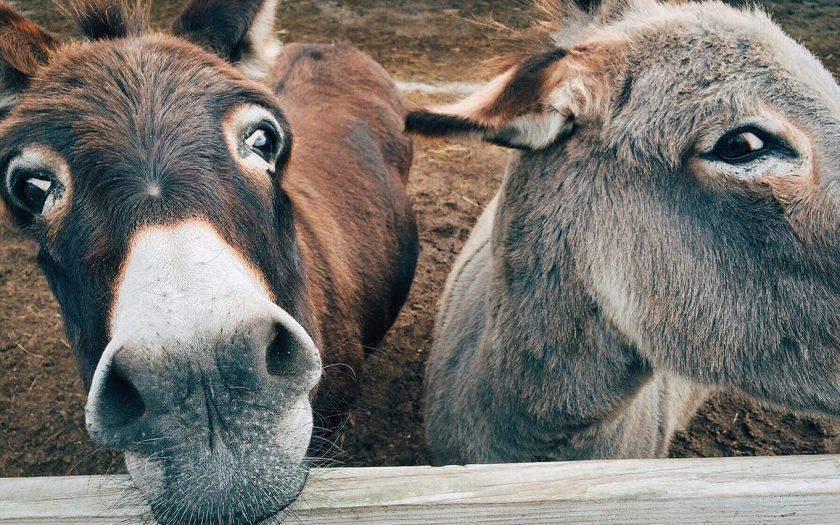 donkey-1725230_WEB
